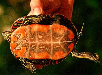 Painted turtle plastron