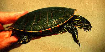 Painted turtle carapace