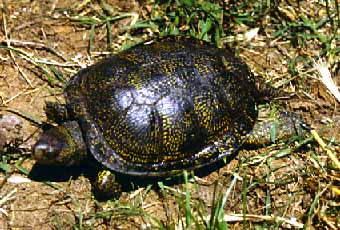 European pond turtle hatchling