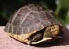 Yellow margined box turtle