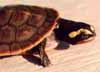 Australian red-bellied short-necked turtle