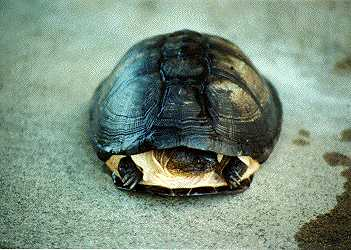 East African side-neck turtle