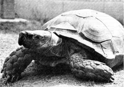 Asian brown tortoise, Manouria emys