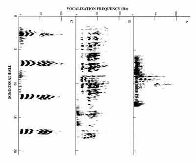 Figure 5: Time vs frequency spectrographs of vocalization in Manouria emys