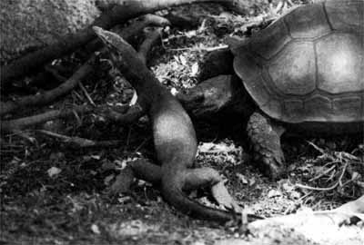 Figure 8a: Female Asian forest tortoise aggressively responding to monitor lizard