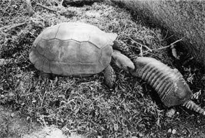 Figure 9: Female M. emys pushing armadillo predator off nest mound