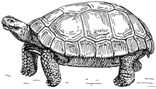 tortoise_graphic