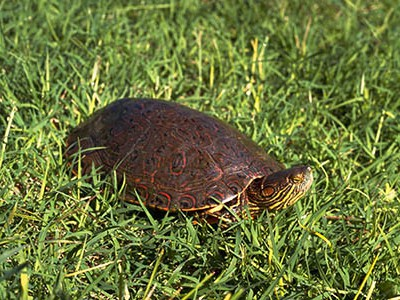 Big Bend slider turtle