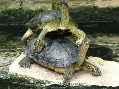 Black wood turtles